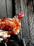 在笼子的鸡 库存照片