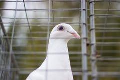 在笼子的鸽子在显示 免版税库存照片