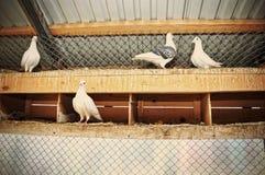 在笼子的鸽子 免版税库存图片