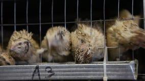 在笼子的鹌鹑在家禽场 股票视频