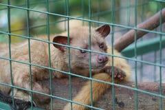 在笼子的麝猫 免版税库存图片