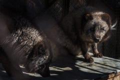 在笼子的黑狐狸 库存图片