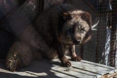 在笼子的黑狐狸 免版税图库摄影