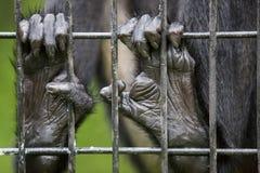 在笼子的猴子手指 库存图片