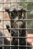 在笼子的黑猩猩 免版税库存照片