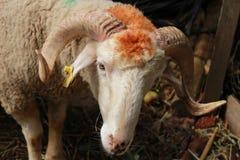 在笼子的绵羊 库存照片