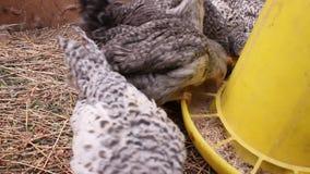 在笼子的年轻鸡 影视素材