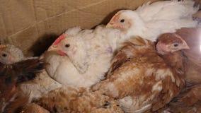 在笼子的年轻鸡 股票录像