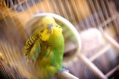 在笼子的Budgie在镜子附近清洗羽毛 免版税库存照片