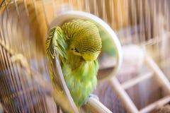 在笼子的Budgie在镜子附近清洗羽毛 库存图片