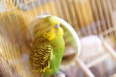 在笼子的Budgie在镜子附近清洗羽毛 免版税库存图片