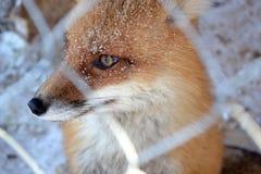 在笼子的Fox,冬天 免版税库存图片