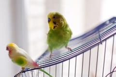 在笼子酒吧栖息的绿色鹦鹉 库存照片