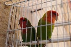 在笼子里面的两只五颜六色的鹦鹉与白色障碍 库存图片
