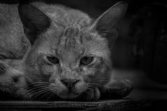 在笼子里面的野生猫与错过它的家庭和freedo的哀伤的面孔 图库摄影