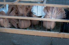 在笼子锁的美丽的鸽子 免版税库存图片