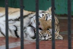 在笼子,哀伤的眼睛的一只老虎 库存图片