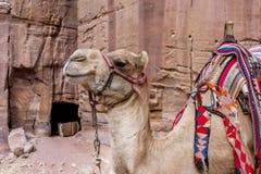 在等待的五颜六色的骆驼在Petra约旦 免版税图库摄影