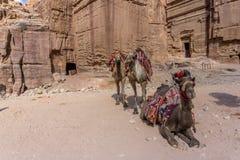 在等待的五颜六色的骆驼在Petra约旦 库存照片