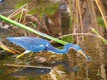 在等待的蓝色苍鹭 库存照片