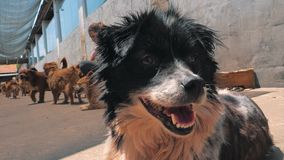 在等待的避难所的哀伤的狗被抢救和被采取到新的家 r 股票视频