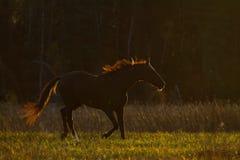 在等高光的马在日落 免版税库存图片