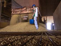 在筒仓的大豆转储 免版税库存照片