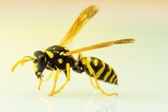 在简单的背景的黄蜂 库存图片