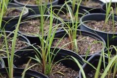 在箍增长的盆的草幼木挖洞 免版税库存照片