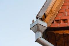 在管子的麻雀 在屋顶的一只鸟 免版税库存照片