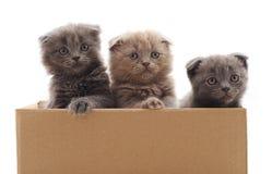 在箱子的三只小小猫 图库摄影