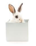 在箱子的兔子 库存照片