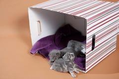 在箱子的可爱的小猫 免版税库存图片