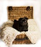 在箱子的哈巴狗 库存图片