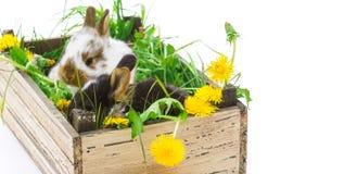 在箱子的复活节兔子 免版税库存照片