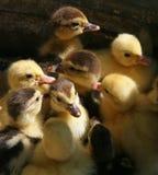 在箱子的安静的鸭子 免版税库存照片