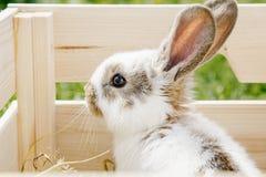 在箱子的小的兔子 库存照片