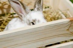在箱子的小的兔子 免版税库存图片