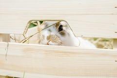 在箱子的小的兔子 免版税库存照片