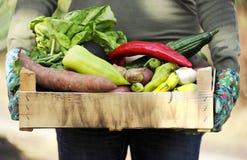 在箱子的新鲜和五颜六色的菜在一只从事园艺的妇女` s手上 庭院接近 库存图片