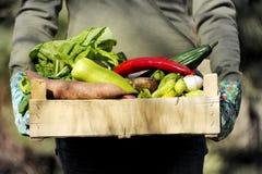 在箱子的新鲜和五颜六色的菜在一只从事园艺的妇女` s手上 庭院接近 免版税库存照片
