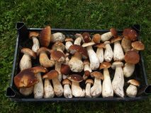 在箱子的新鲜的蘑菇牛肝菌蕈类 秋天等概率圆蘑菇背景 免版税库存图片