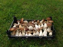 在箱子的新鲜的蘑菇牛肝菌蕈类 秋天等概率圆蘑菇背景 库存照片