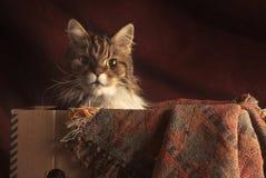 在箱子的猫 库存照片