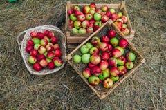 在箱子的绿色红色说谎在秸杆的苹果和篮子 收获概念 库存照片