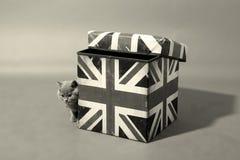 在箱子的英国Shorthair 免版税图库摄影