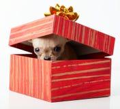 在箱子的逗人喜爱的小狗奇瓦瓦狗 免版税库存图片
