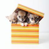在箱子的逗人喜爱的小狗奇瓦瓦狗 免版税图库摄影