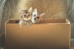 在箱子的逗人喜爱的平纹小猫 免版税库存图片