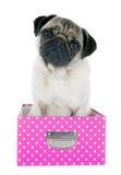 在箱子的年轻哈巴狗 库存照片